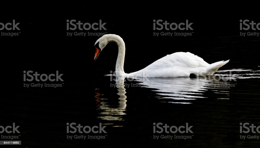 Reflected white swan swimming dark background Cygnus olor stock photo