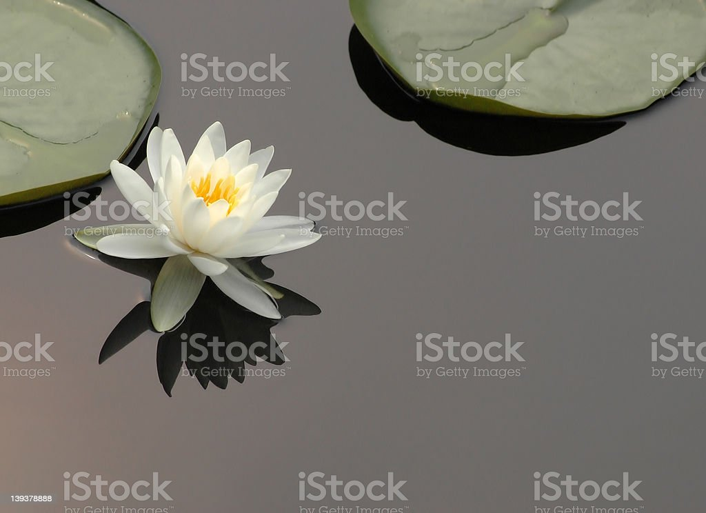 Reflecting Lotus flower (Nymphaea Alba) royalty-free stock photo