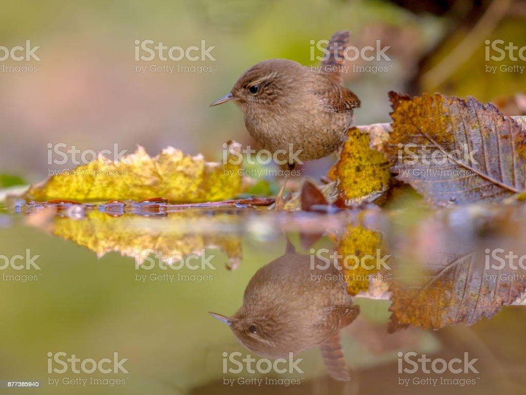 Reflection Eurasian wren autumn colored leaves stock photo