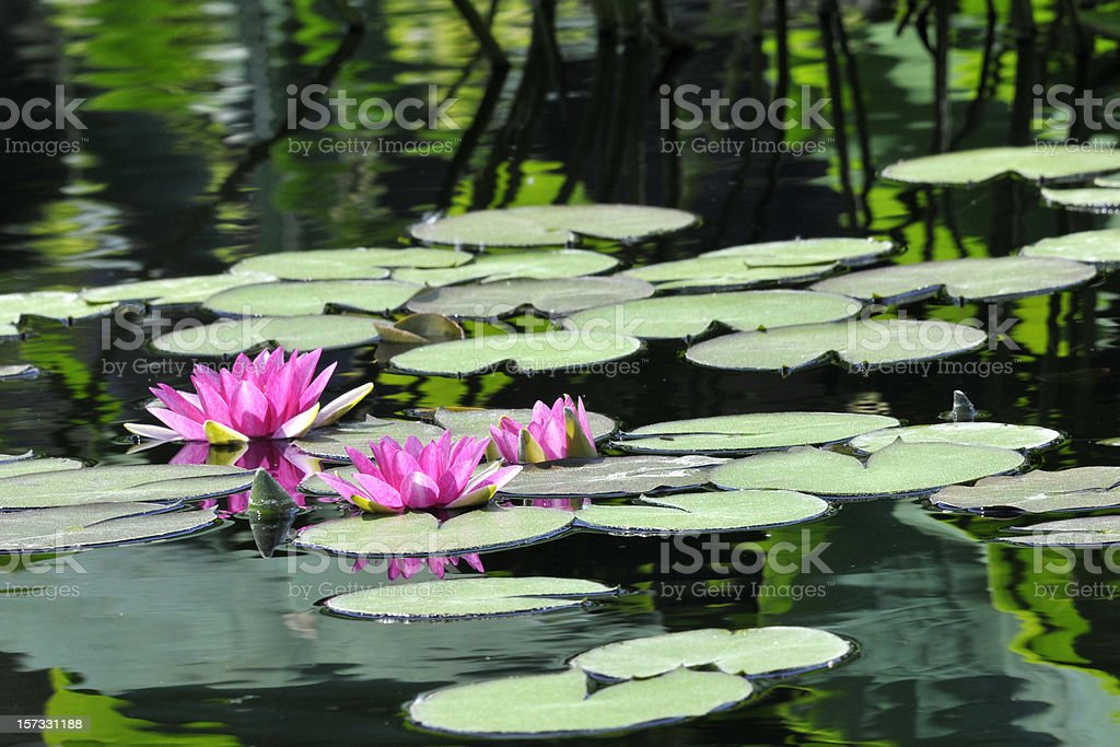 Reflection in Lily Pond stock photo