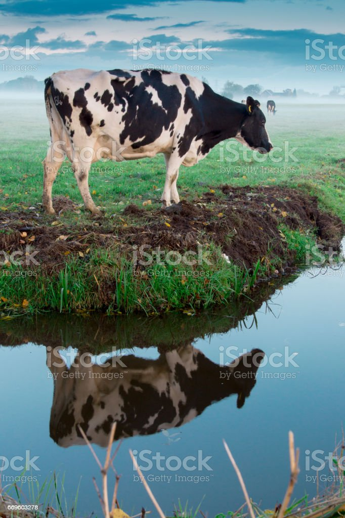 reflection of a cow stock photo