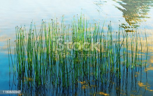Aquatic plants reflecting in the clear water under the sunlight. Natural summer background - stems of spike-rush grow in the lake. Selective focus, blurred vignette.