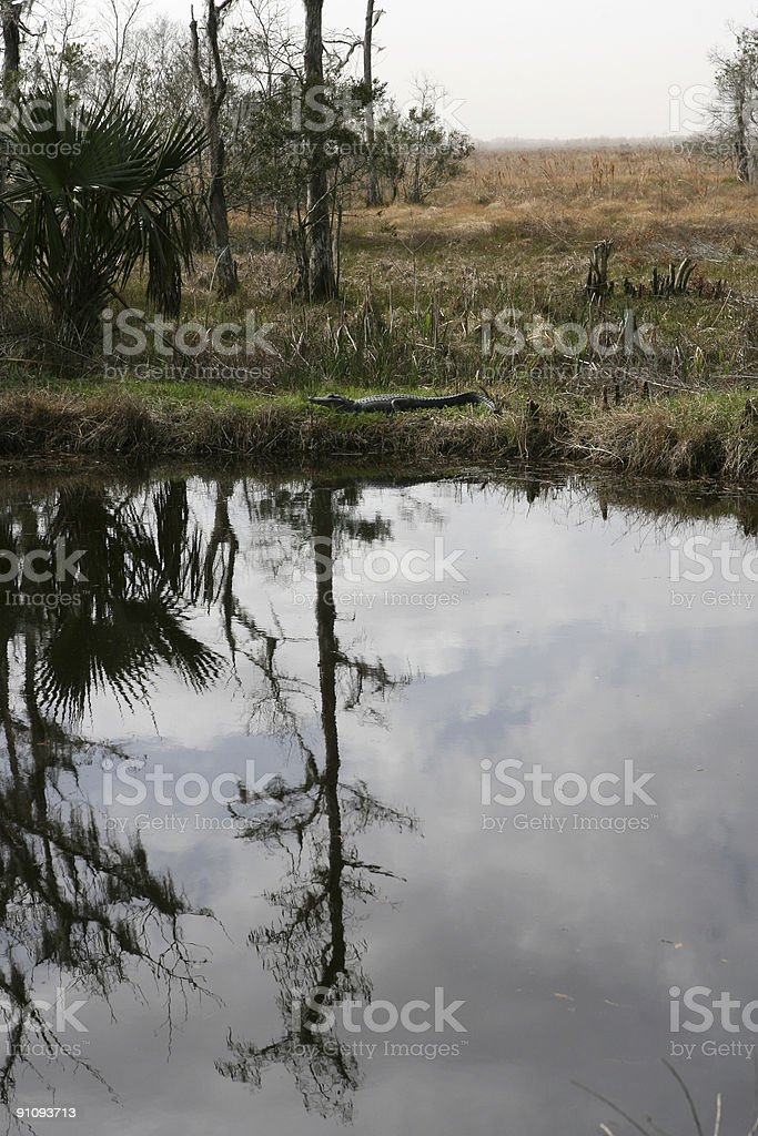 Reflection of  cypress  tree with an alligator royalty-free stock photo