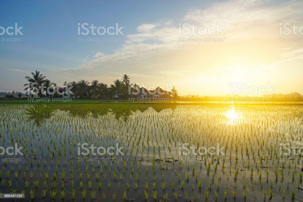 Reflexion von Bauernhaus und jungen Paddy Saatgut bei Sonnenaufgang. – Foto