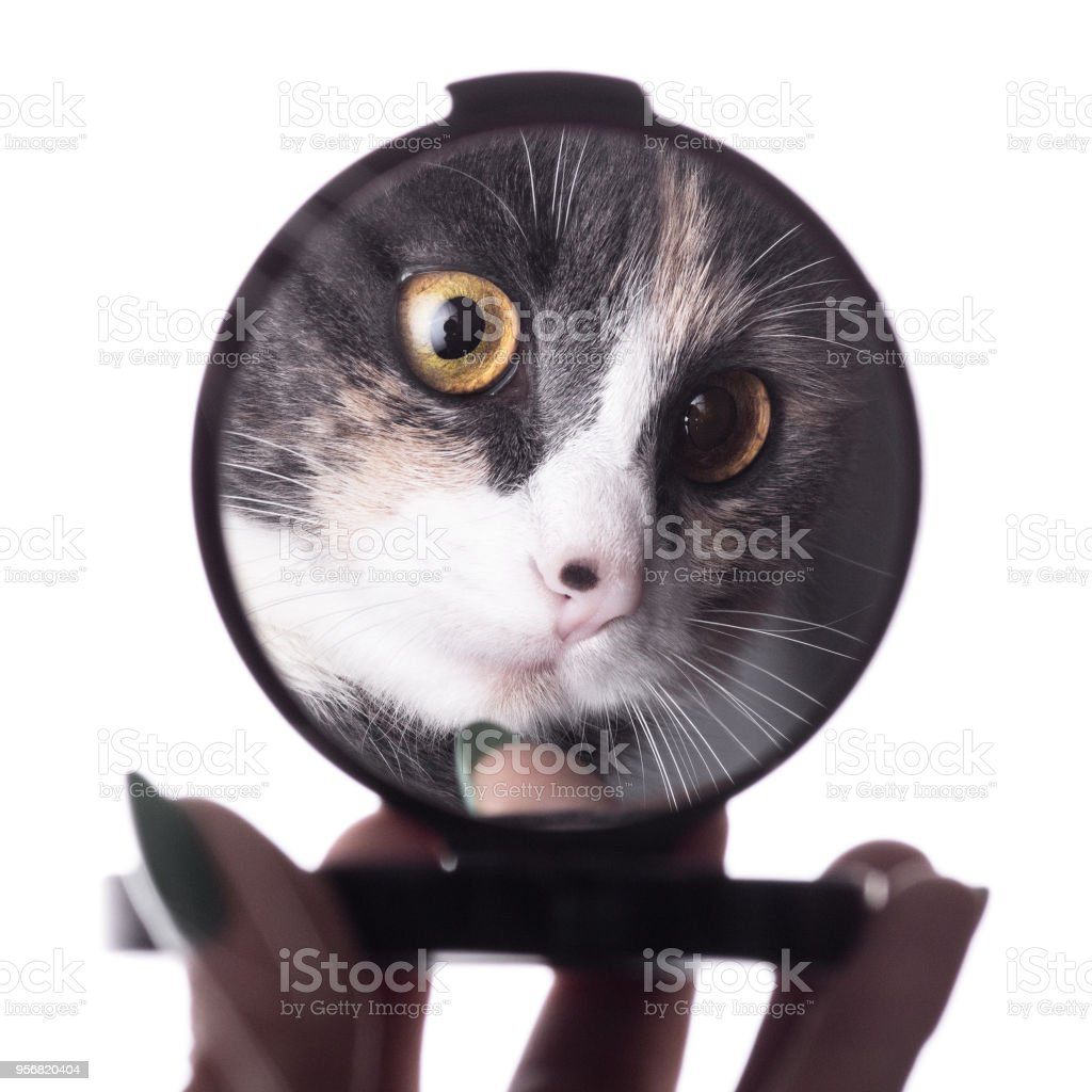 Reflection Of Funny Cat In A Mirror In A Woman Hand Pet