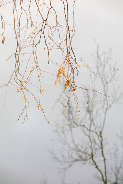 Reflection of tree branches on water stock photo