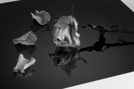 reflections of a dying rose