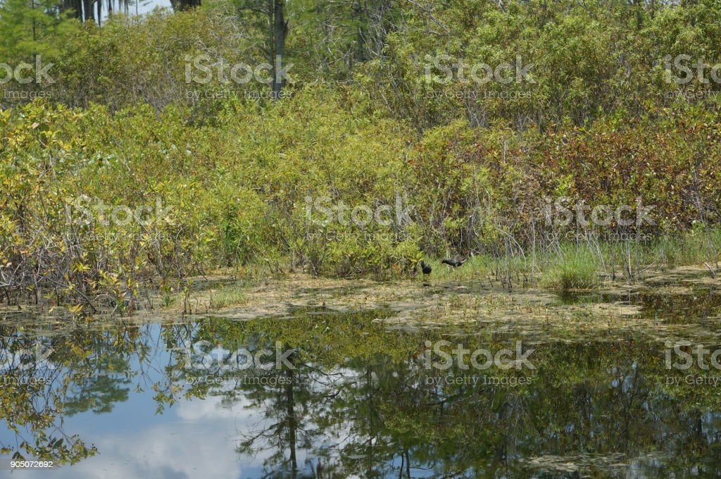 reflections of cypress trees stock photo