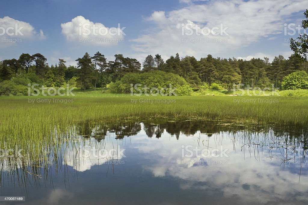 reflective lake, reeds and green trees stock photo