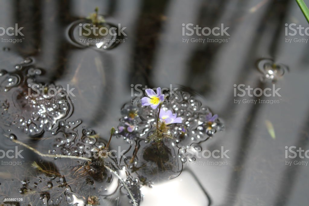 Bacopa reflexa (Benth.) Edwall stock photo