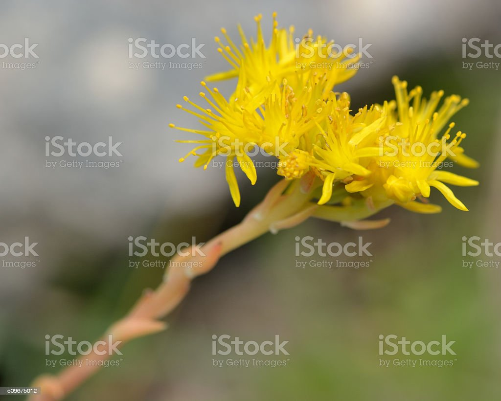 Reflexed Stonecrop Close Up Of Flower Stock Photo More Pictures Of