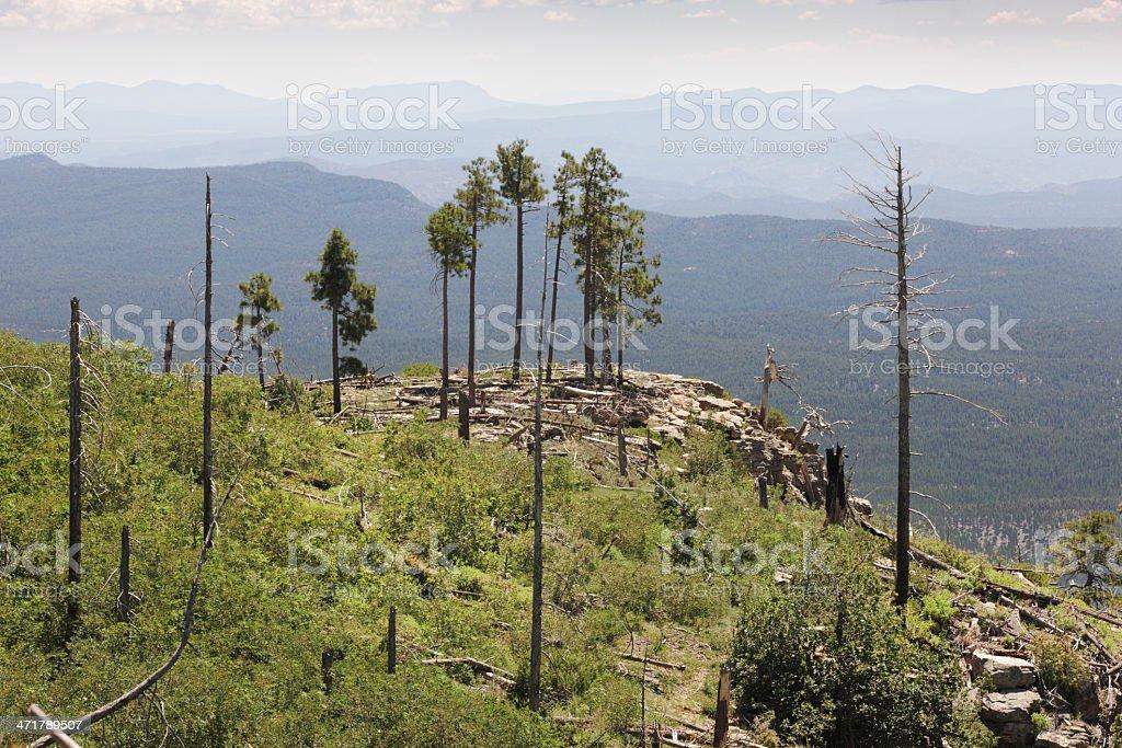 Reforestation Mogollon Rim Coconino Forest Wilderness royalty-free stock photo