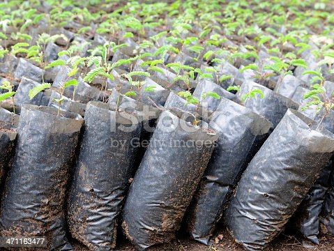 Tree seedlings being grown for a reforestation project in Africa.
