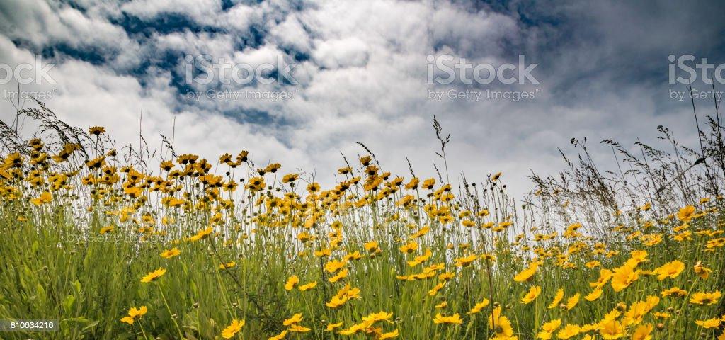 Refreshing feeling, golden wave gold branch / summer chrysanthemum - foto stock