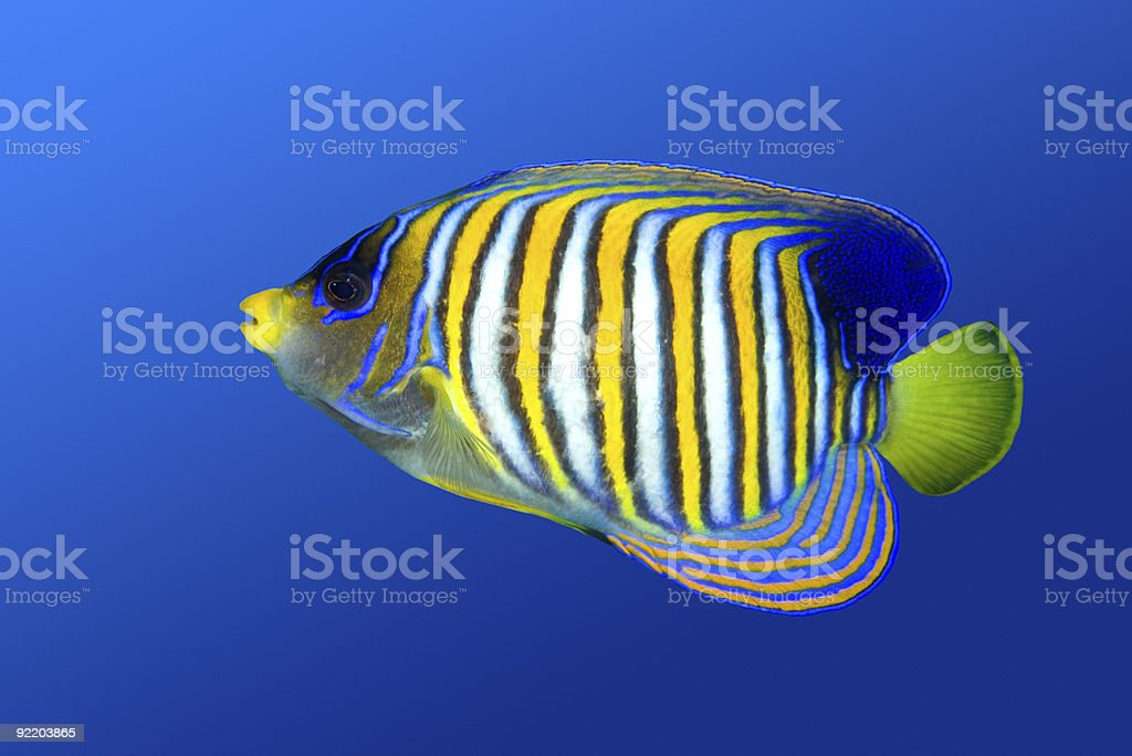 Regal Angelfish royalty-free stock photo