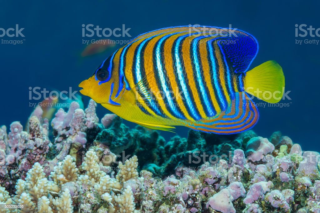 Fotografía de Pez ángel Majestuoso Natación En Un Arrecife De Coral ...