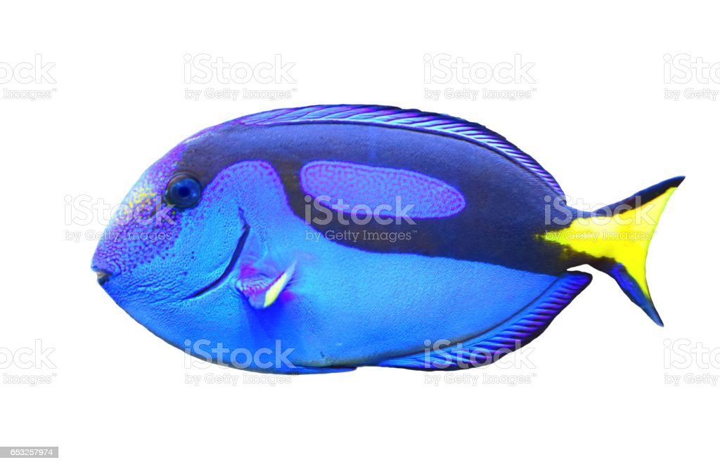 regal blue tang tropical fish cute isolated on white background stock photo