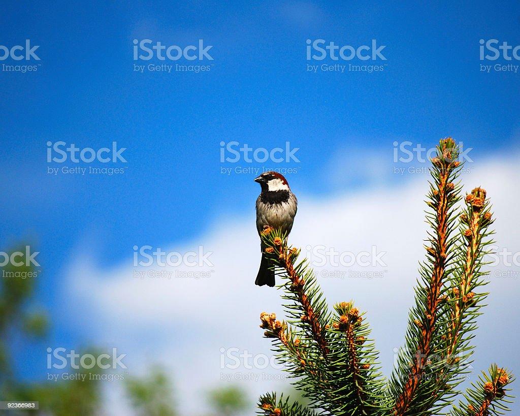 Regal House Sparrow royalty-free stock photo