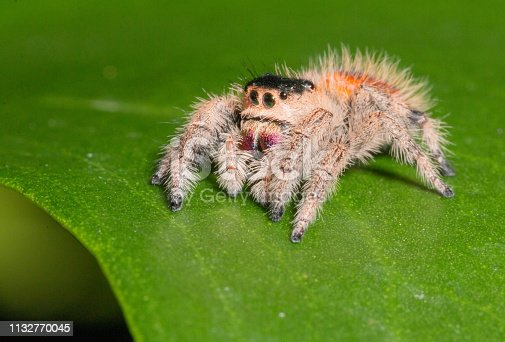 The Phidippus Regius (Regal Jumping Spider) from the US and Canada