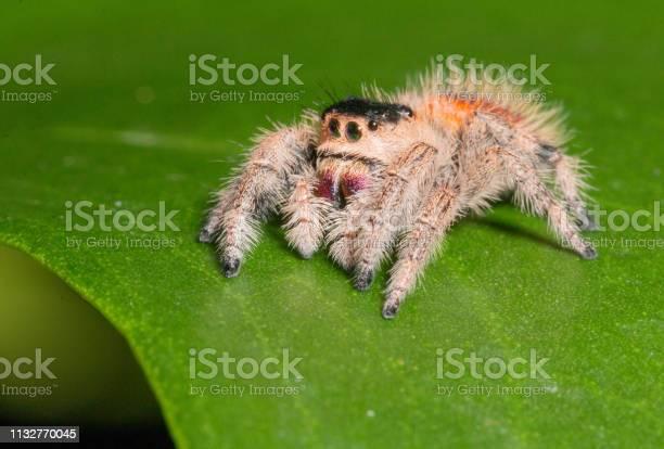 Regal jumping spider picture id1132770045?b=1&k=6&m=1132770045&s=612x612&h=empui8lipb1ir rfw3erjeyzzuzoh8j6jvywpdvyoxe=