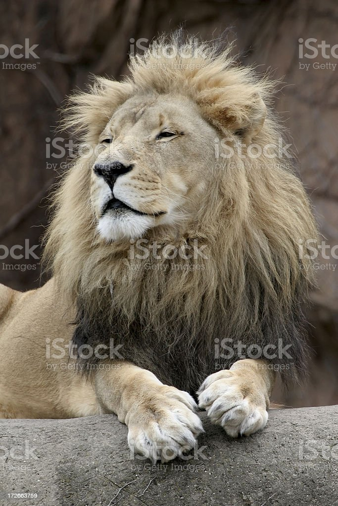 Regal Lion royalty-free stock photo