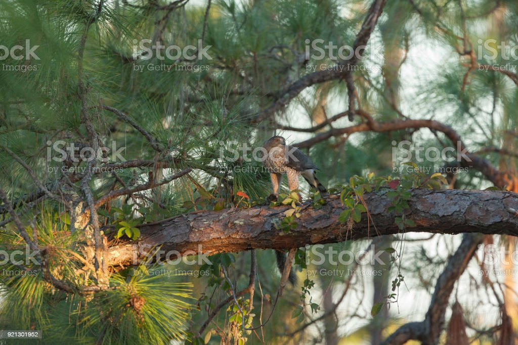 A regal looking Cooper's Hawk with prey on large pine tree limb stock photo