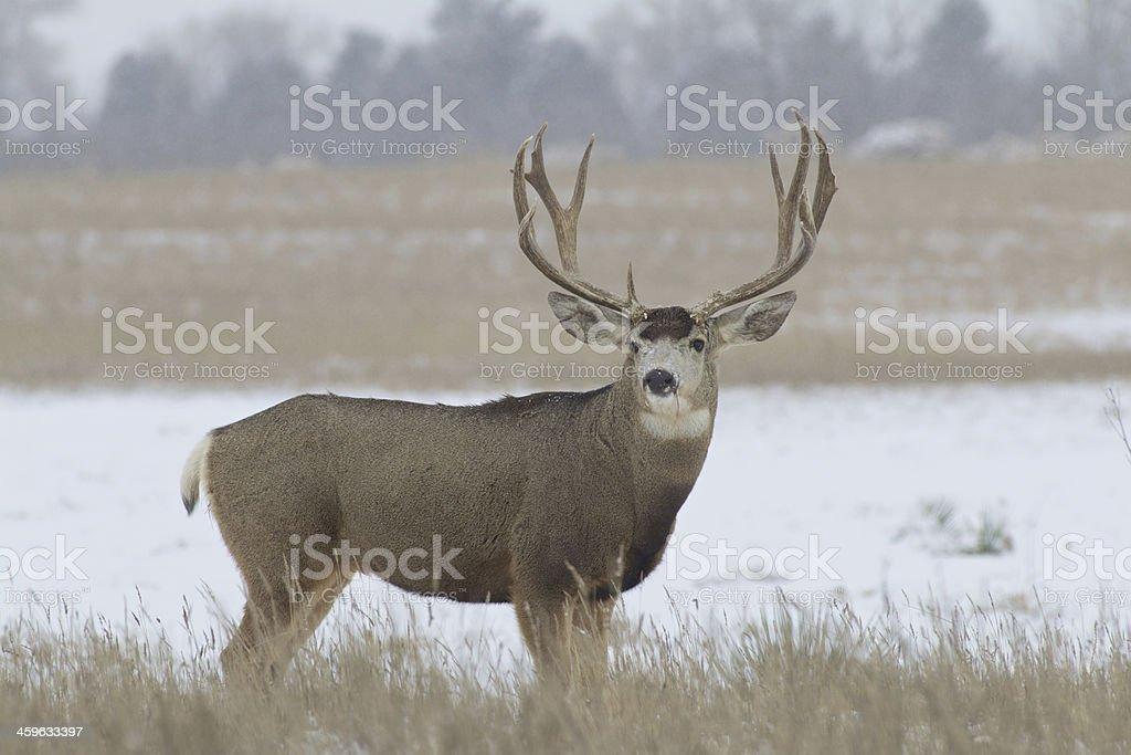 Regal Mule Deer Buck stock photo