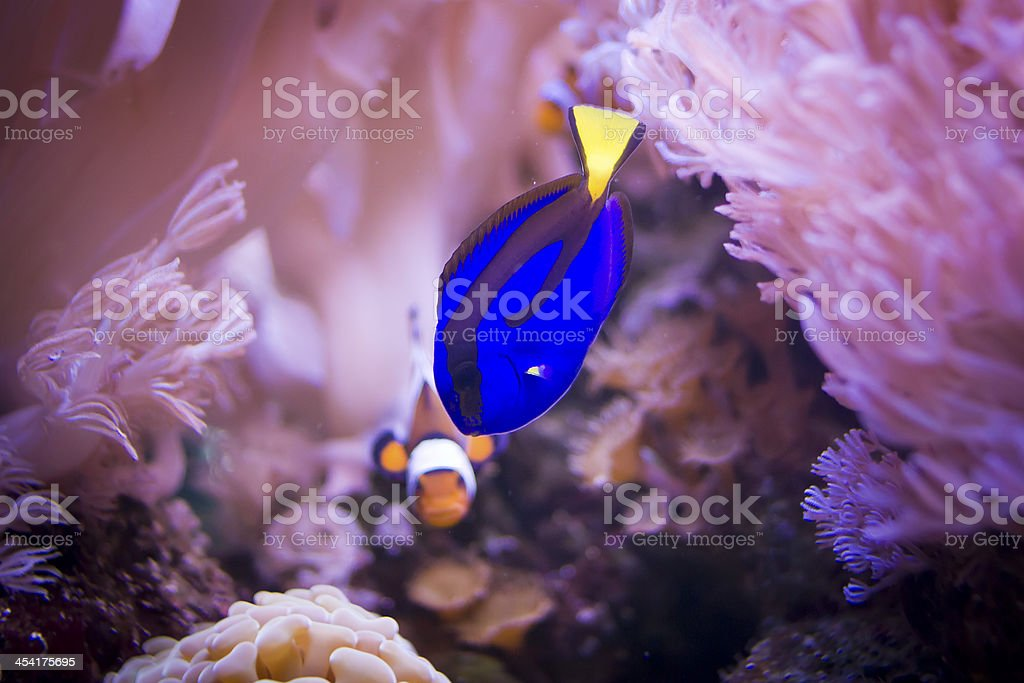 Regal tang and clownfish stock photo
