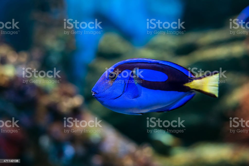 Regal Tang fish stock photo