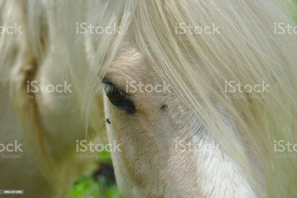 regard et crinière de cheval blanc stock photo