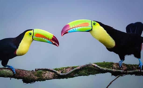 Regenbogen Tukane im Dschungel Costa Ricas – Foto