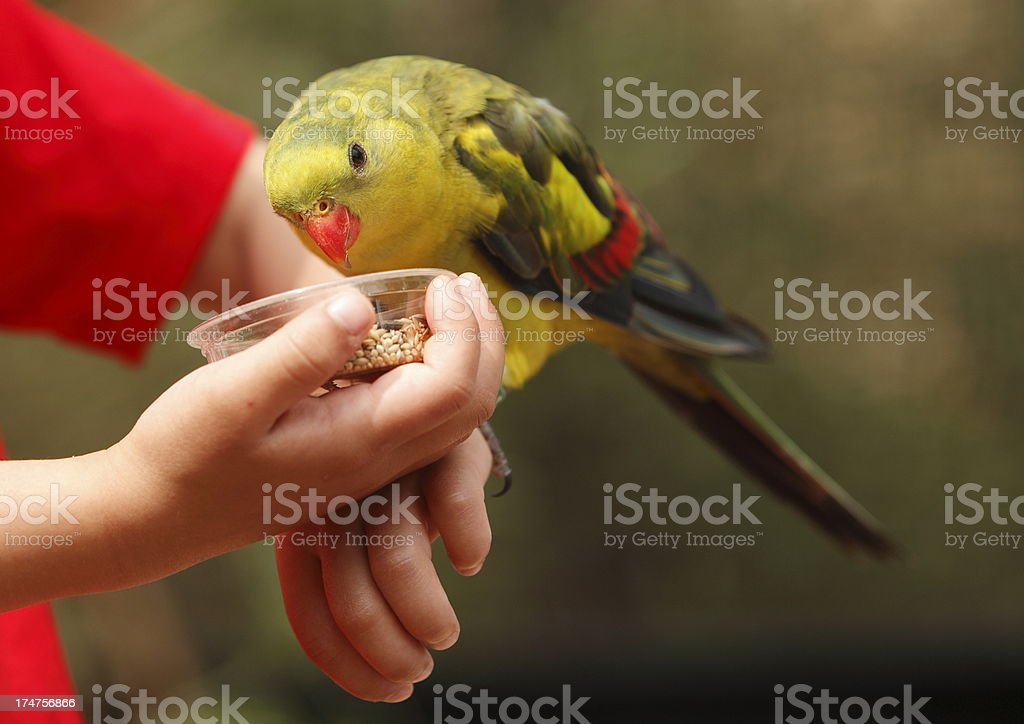 Regent Parrot royalty-free stock photo