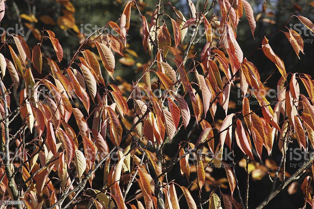 Regimented display of pinky-orange cherry leaves royalty-free stock photo