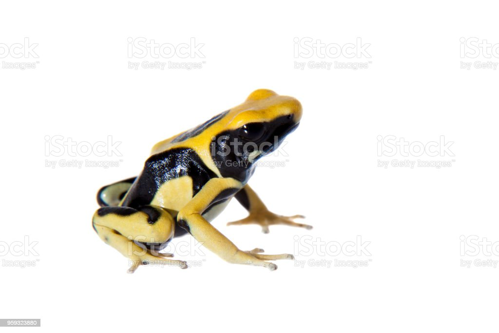 Regina Dyeing Poison dart frogling, Dendrobates tinctorius, on white stock photo
