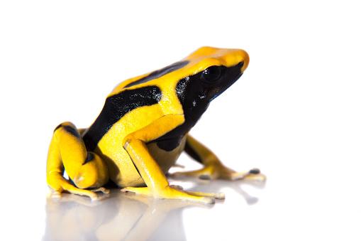 Regina Dyeing Poison Dart Frogling Dendrobates Tinctorius On White Stock  Photo - Download Image Now - iStock