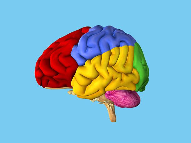 Regions of the brain. Regions of the brain: Side view featuring frontal lobe (red), parietal lobe (blue), occipital lobe (green), temporal lobe (yellow), cerebellum (pink) and brain stem. parietal lobe stock pictures, royalty-free photos & images