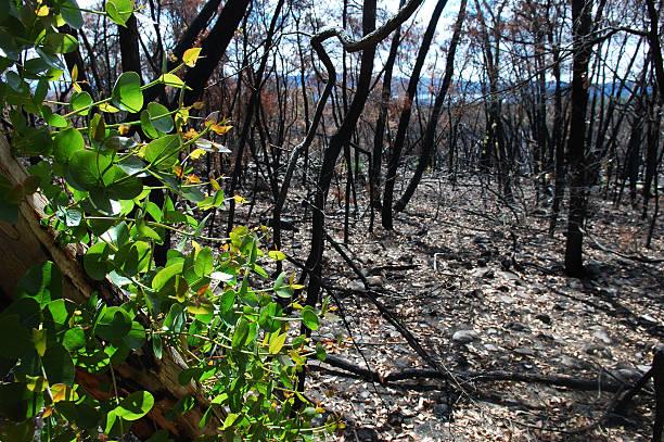regrowth after the fire - herbebossing stockfoto's en -beelden