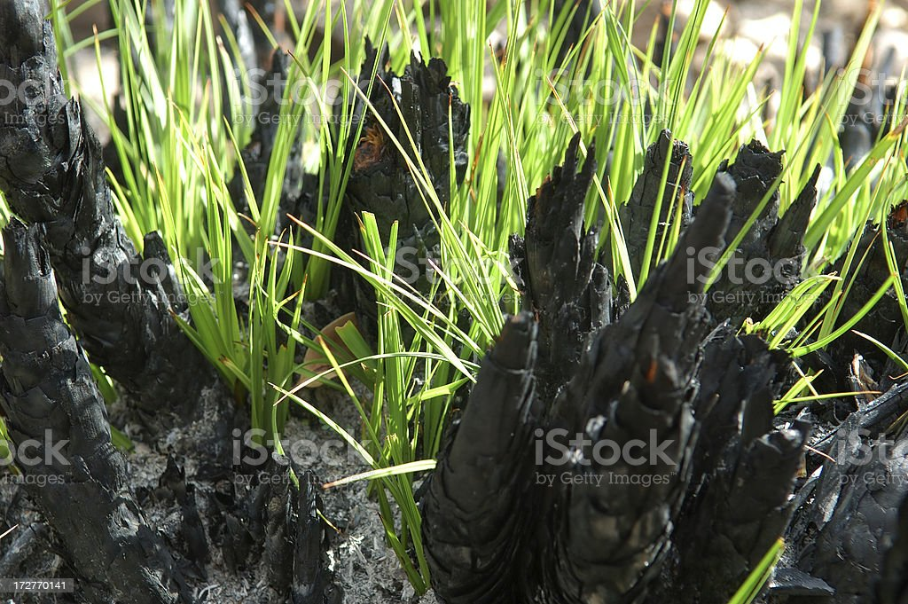 Regrowth after the fire royalty-free stock photo