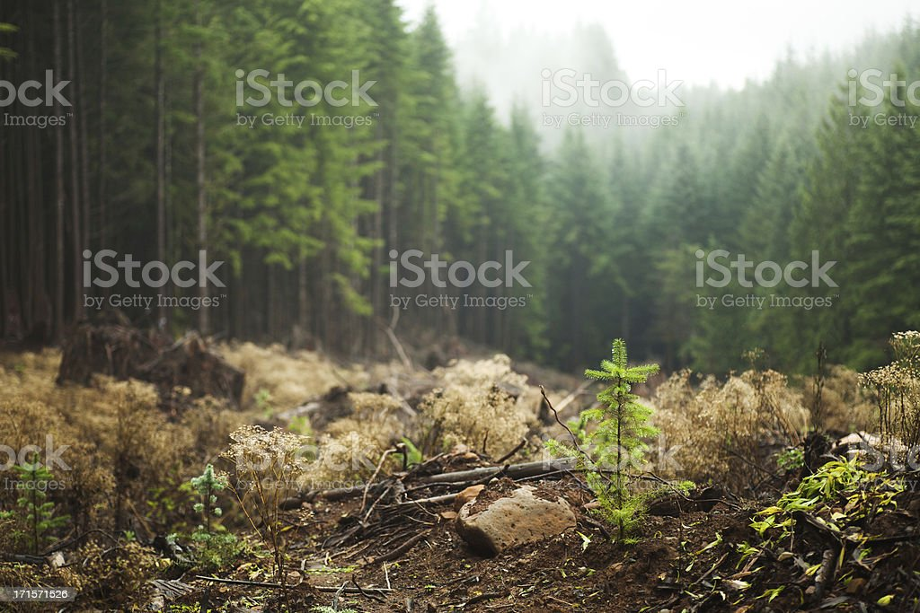 Regrowth in logged area stock photo