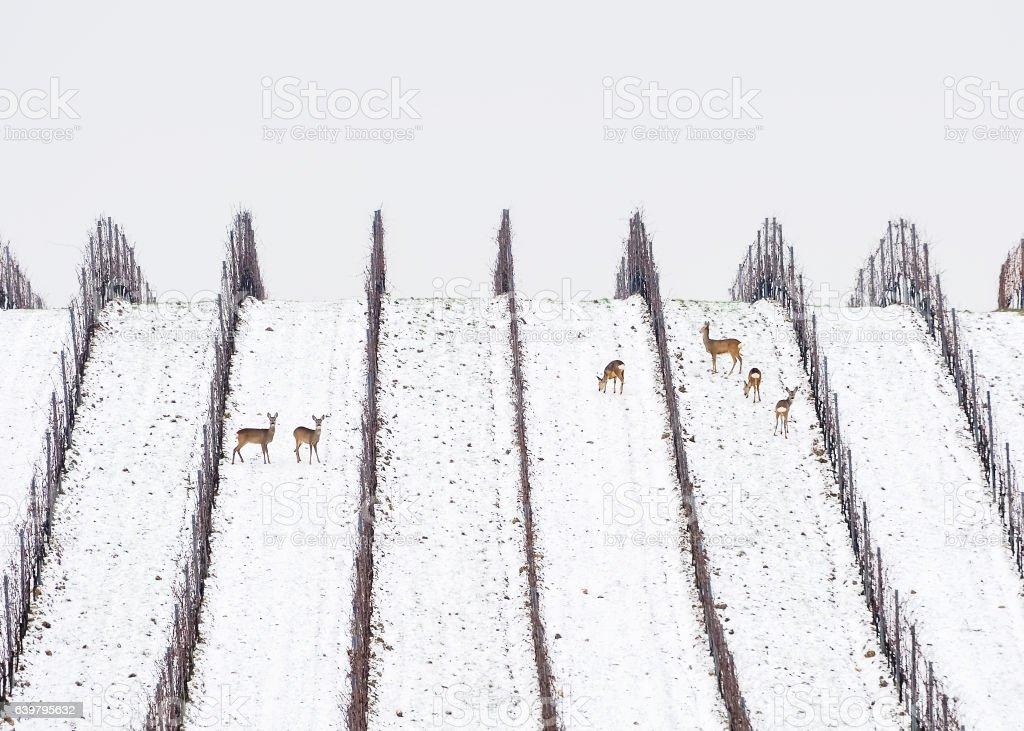Rehe und Rehbock im Winter im Weingarten – Foto