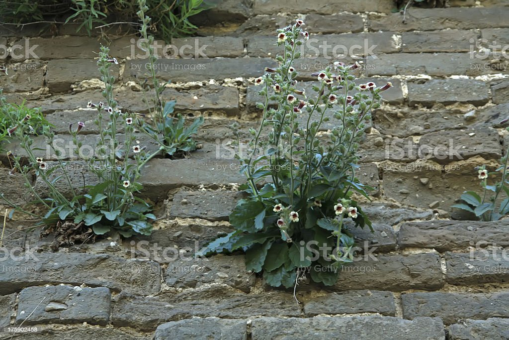 rehmannia glutinosa royalty-free stock photo