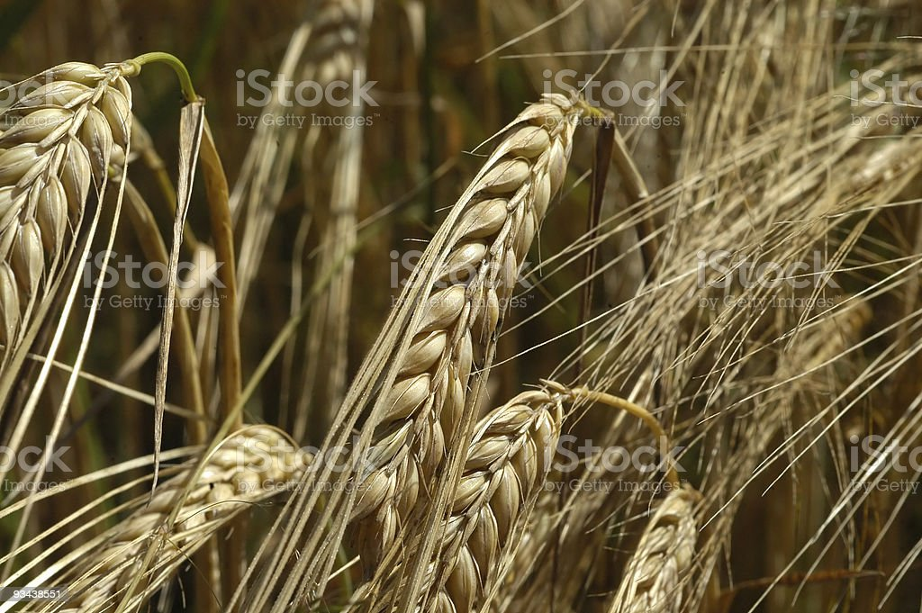 Reifer wheat beer-Reife golden wheat Lizenzfreies stock-foto