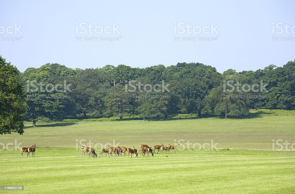 Zügel Deer in einem Park – Foto