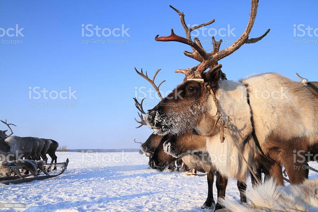 Reindeer against the blue sky stock photo