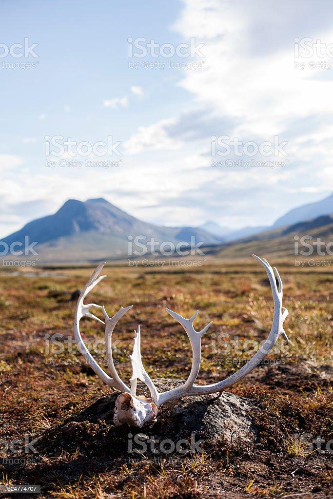 Reindeer antler in front of mountain stock photo