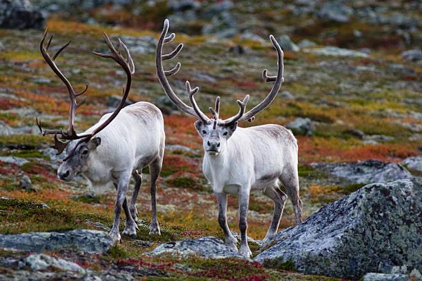reindeer antlers - rendier stockfoto's en -beelden