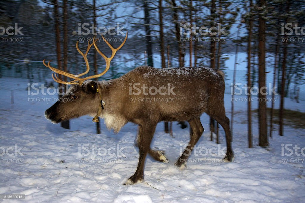 Reindeer are in the woods during the polar night stock photo