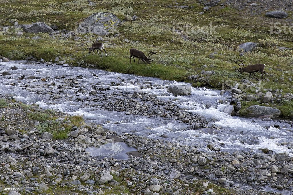 Reindeer at a river in Lapland, near Kebnekaise stock photo