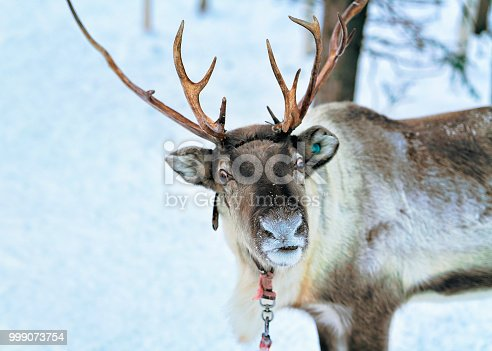 istock Reindeer at Snow Forest in Rovaniemi Finland Lapland 999073754