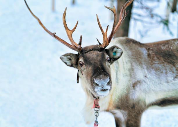rendieren bij snow forest in rovaniemi finland-lapland - rendier stockfoto's en -beelden